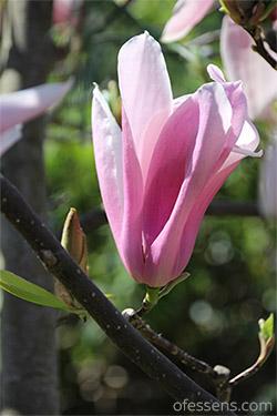 Magnolia être ancré la fondation pour construire ses rêves