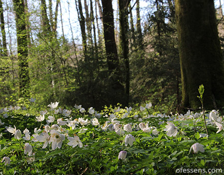 Forêt-anémones-le meilleur-antistress-naturel-de-la-planète