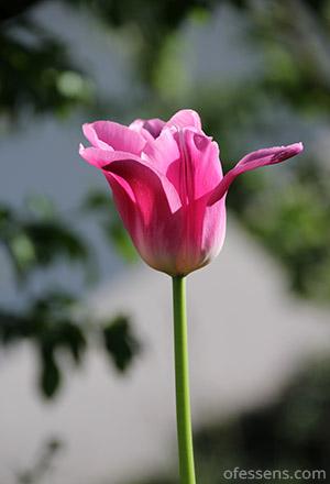 Tulipe rose meilleure antistress naturel de la planète