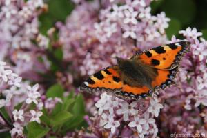 Papillon sur lilas