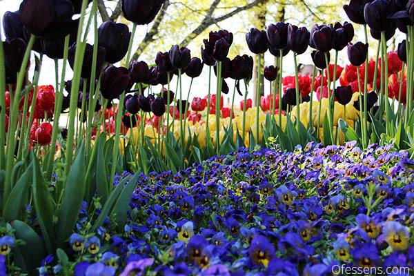 Thérapie par les couleurs tulipe bleu